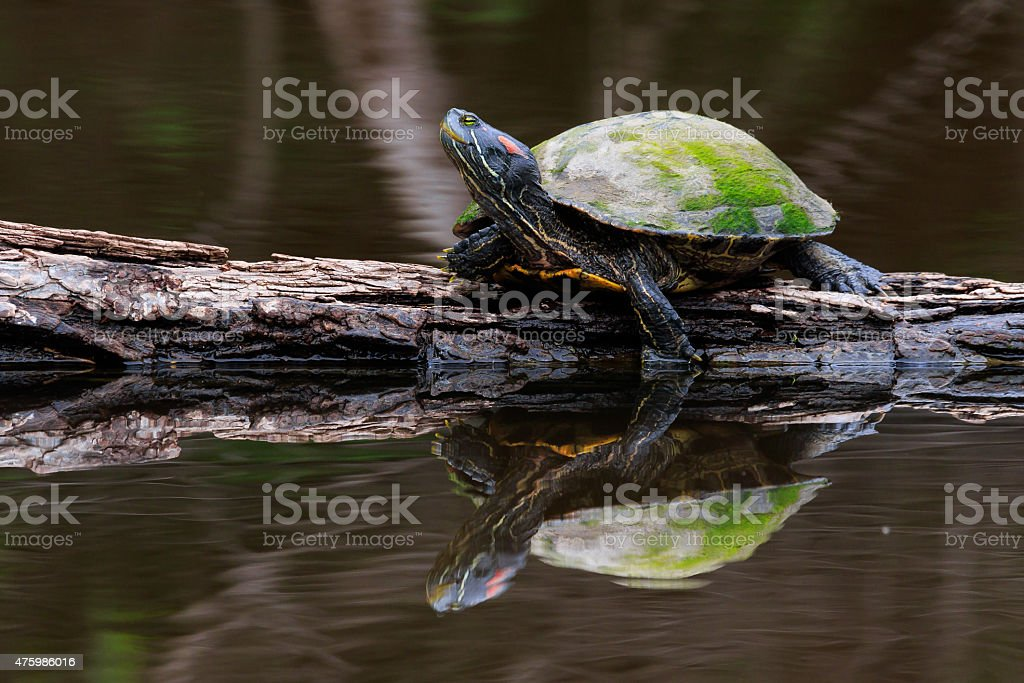 Red-earred Slider (turtle) stock photo