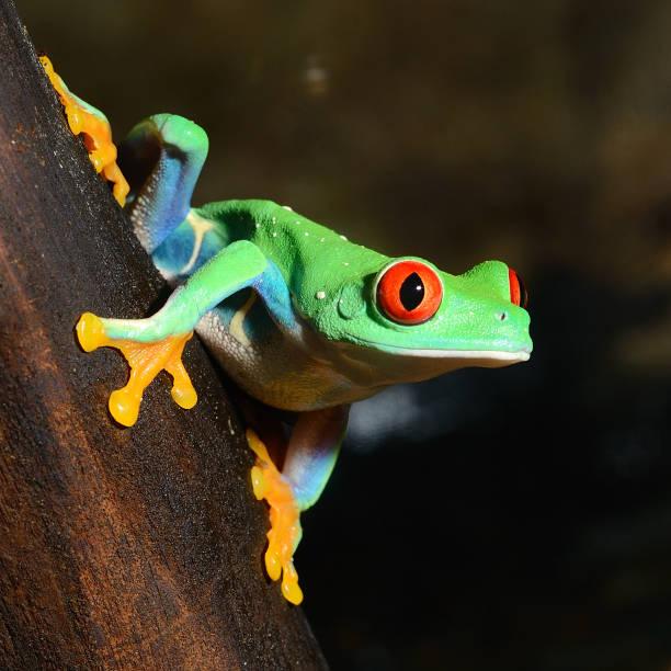 red-eye frog  agalychnis callidryas in terrarium - croak stock pictures, royalty-free photos & images
