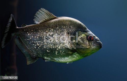 Redeye Piranha (Serrasalmus rhombeus)