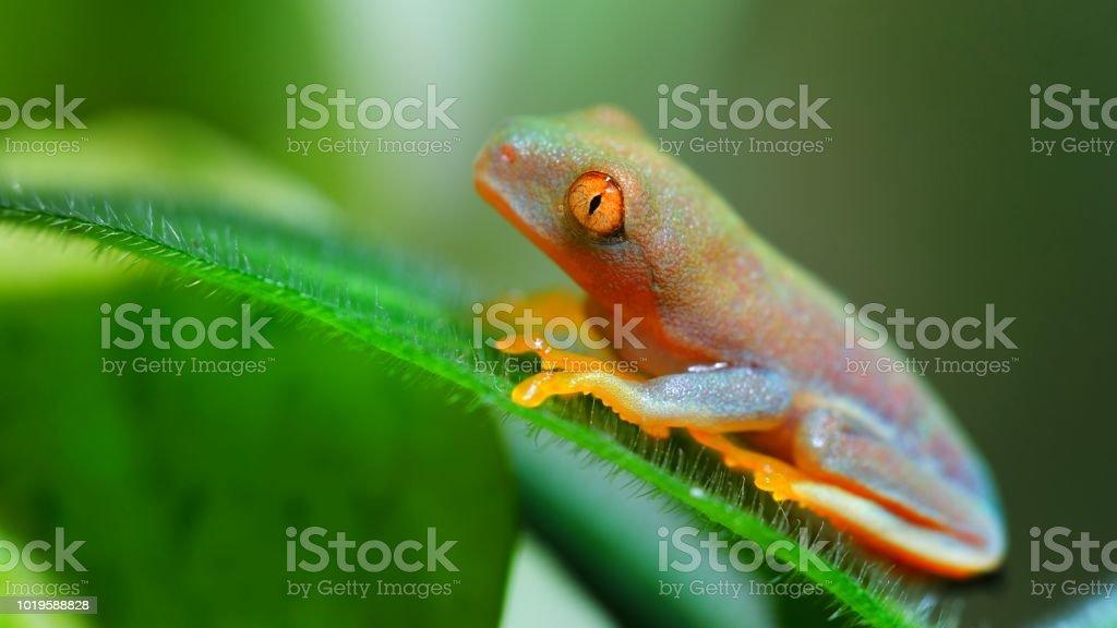 Redeye Tree Frog Agalychnis Callidryas In Terrarium Stock Photo Download Image Now Istock