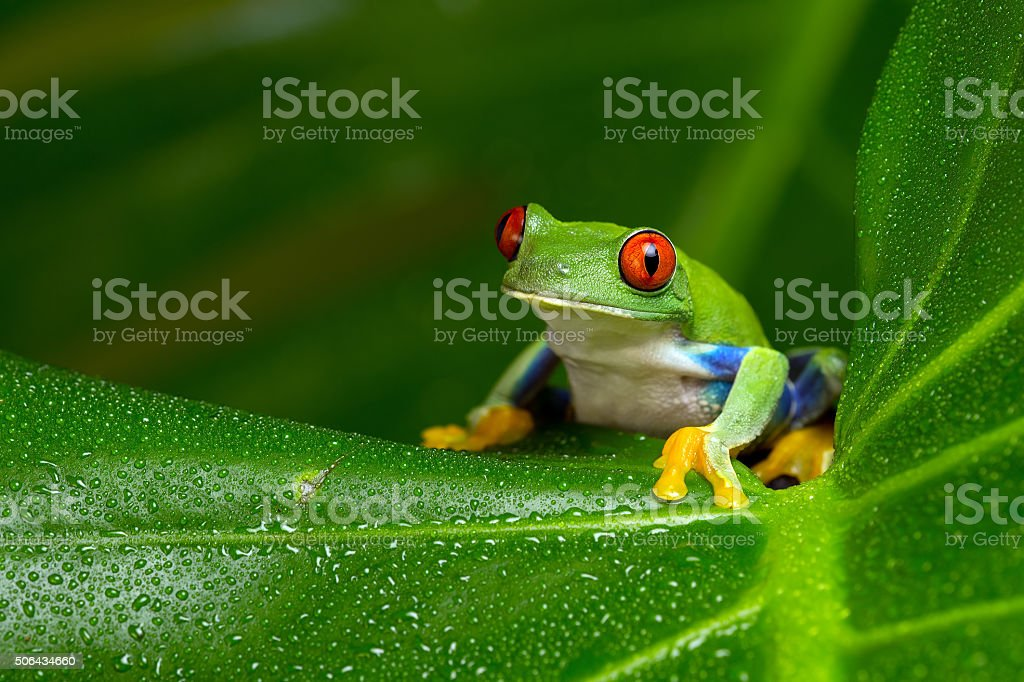 Red-Eyed Amazon Tree Frog (Agalychnis Callidryas) stock photo