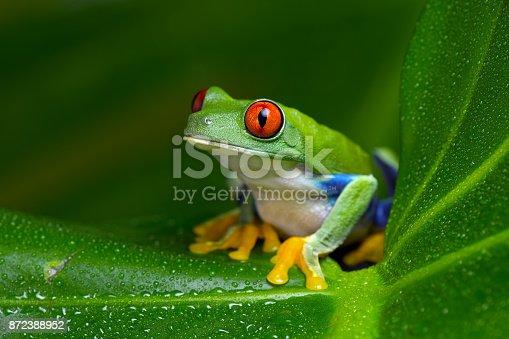 Red-Eyed Amazon Tree Frog (Agalychnis Callidryas) on wet palm leaf