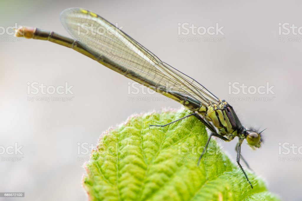 Red-eyed damselfly (Erythromma najas) teneral male royalty-free 스톡 사진