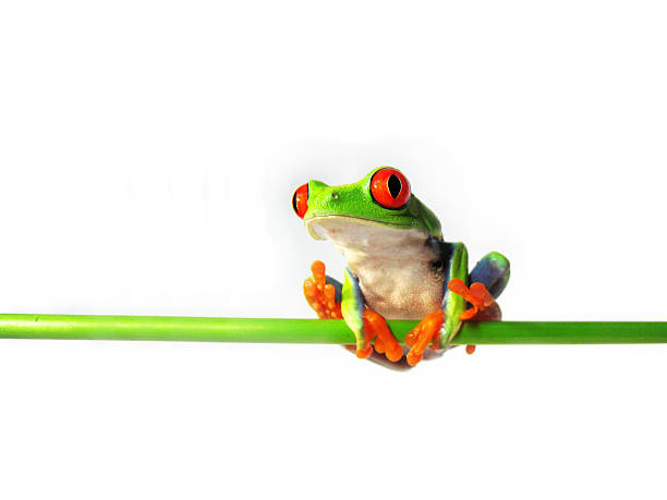red-eyed tree frog, Agalychnis callidryas stock photo