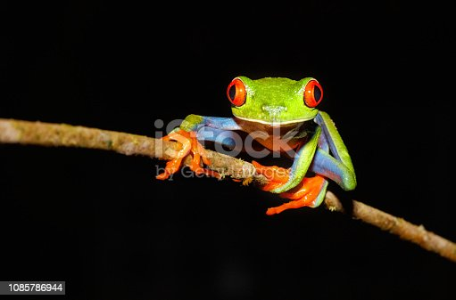 Red-Eyed Tree Frog, Agalychnis callidryas, Tortugeuro National Park, Costa Rica