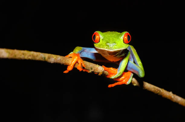 Red-Eyed Tree Frog at Night, Costa rica Red-Eyed Tree Frog, Agalychnis callidryas, Tortugeuro National Park, Costa Rica limoen stock pictures, royalty-free photos & images