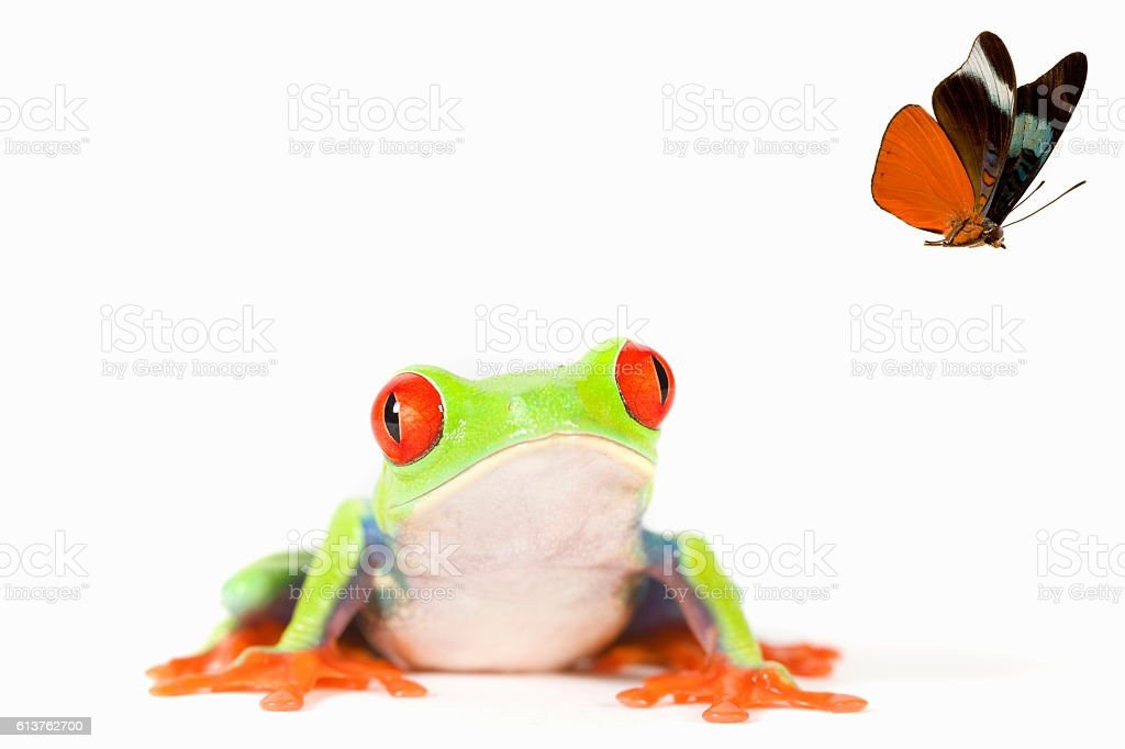 Red-Eyed Tree Frog chasing butterfly stock photo