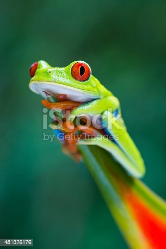 istock Red-Eyed Tree Frog climbing on heliconia flower, Costa Rica animal 481326176