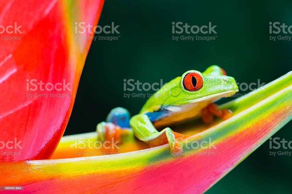 Rotaugenlaubfrosch Klettern auf heliconia Blume, Costa Rica animal - Lizenzfrei 2015 Stock-Foto