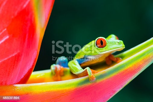 istock Red-Eyed Tree Frog climbing on heliconia flower, Costa Rica animal 485091894