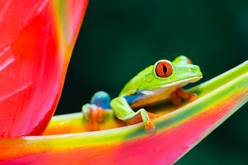 Rotaugenlaubfrosch Klettern Auf Heliconia Blume Costa Rica Animal Stockfoto und mehr Bilder von 2015