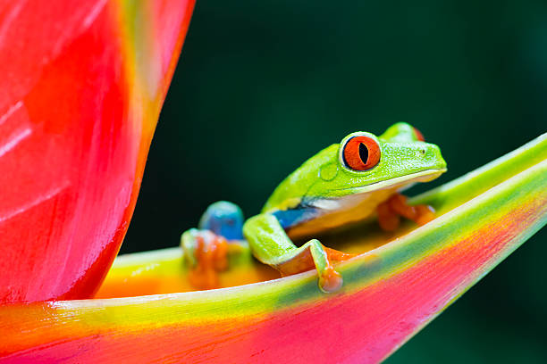 red-eyed tree frog climbing on heliconia flower, costa rica animal - wildlife travel stock pictures, royalty-free photos & images