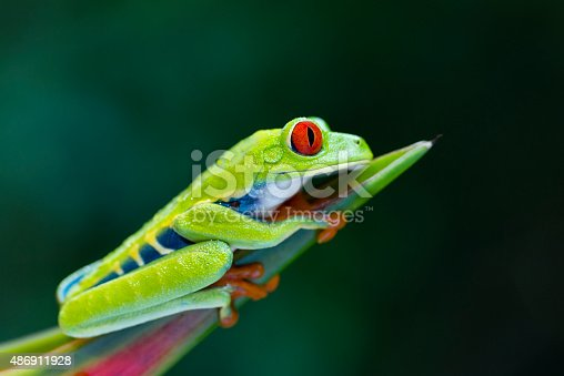 Red-Eyed Tree Frog climbing on heliconia flower , Costa Rica animal. Agalychnis callidryas. Profile view.