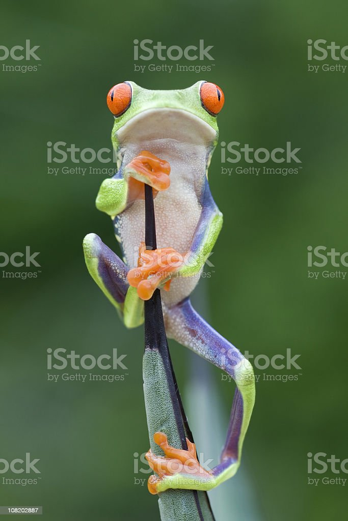 Red-eyed Tree Frog Climbing to the Top royalty-free stock photo