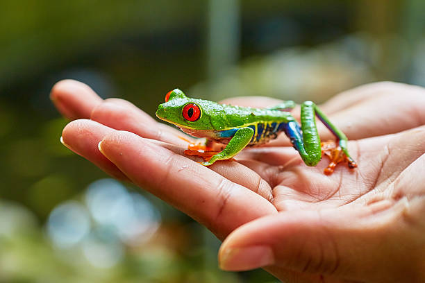 Red-eyed tree frog, Costa Rica stock photo