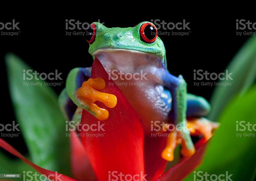 red-eyed tree frog front view royalty-free stock photo