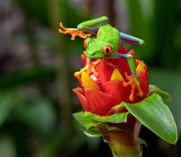 Red-eyed Tree Frog in Costa Rica stock photo