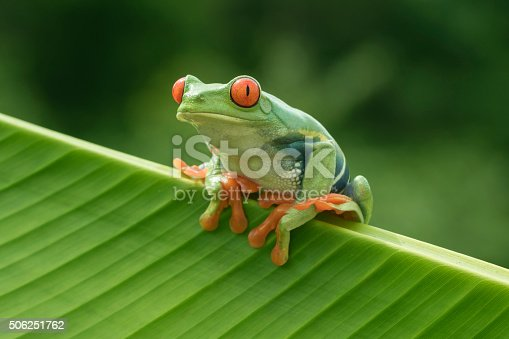 Red-eyed Tree Frog in Rainforest
