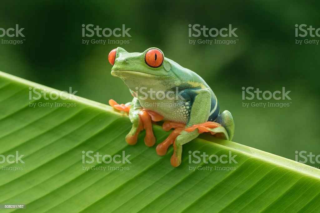 Red-eyed Tree Frog in Rainforest stock photo