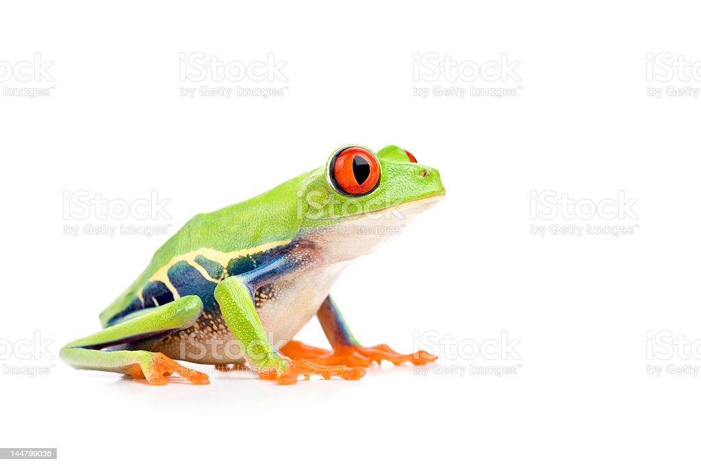 red-eyed tree frog isolated on white stock photo