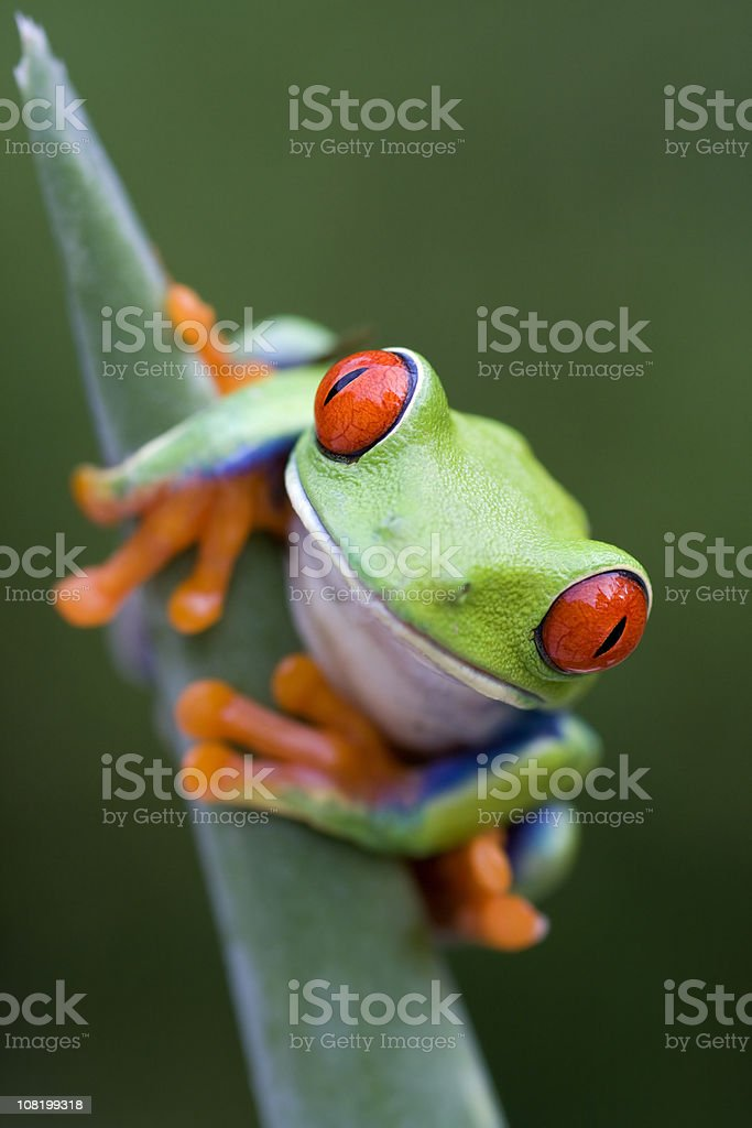 Red-eyed Tree Frog Looking at You stock photo