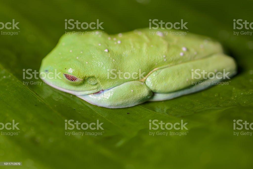 rotäugigen Baumfrosch auf einem Bananenblatt – Foto