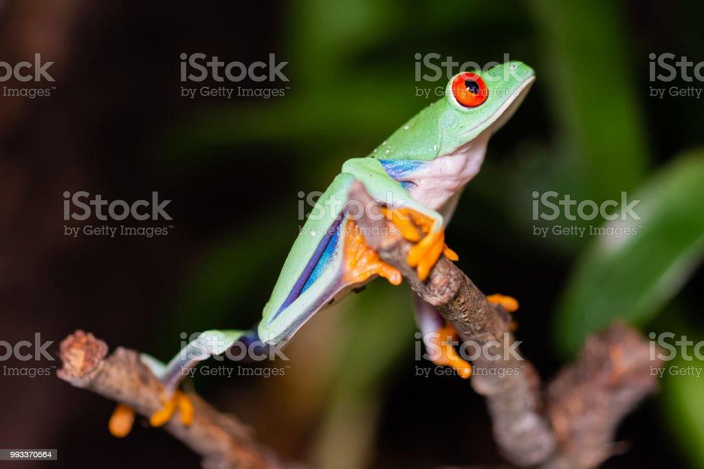 rotäugigen Baumfrosch auf einem Ast – Foto