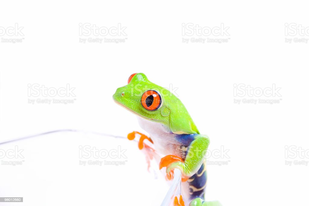 Red-eyed tree frog on a glass royalty-free stock photo