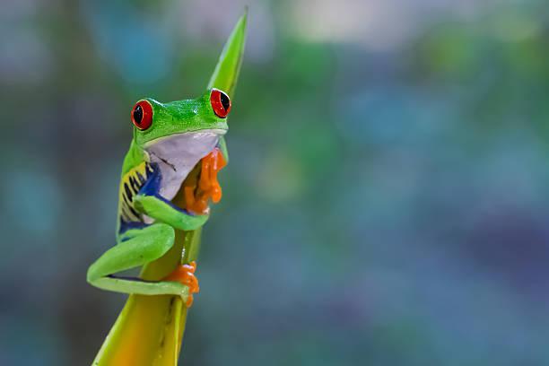 Rotaugenlaubfrosch auf einer Helekonie – Foto