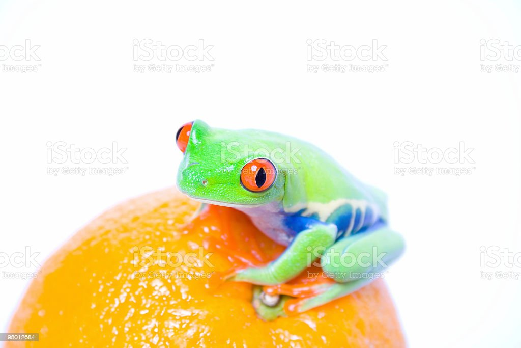 Red-eyed tree frog on an orange royalty free stockfoto