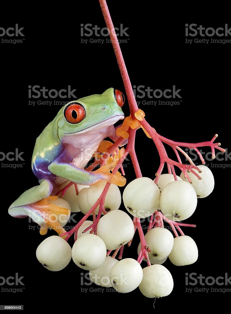 Red-eyed tree frog on berries royalty-free stock photo