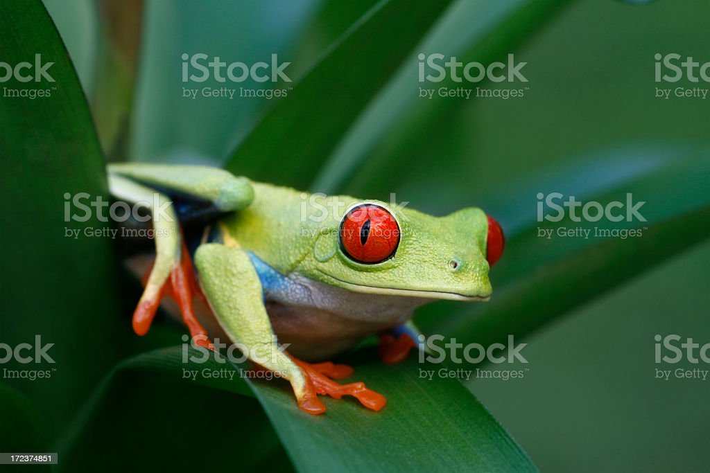 Red-eyed Tree Frog on Rainforest Plant stock photo