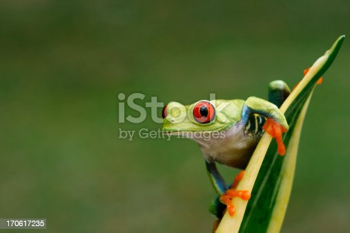 istock Red-eyed Tree Frog on Snake Plant- Nature Background 170617235