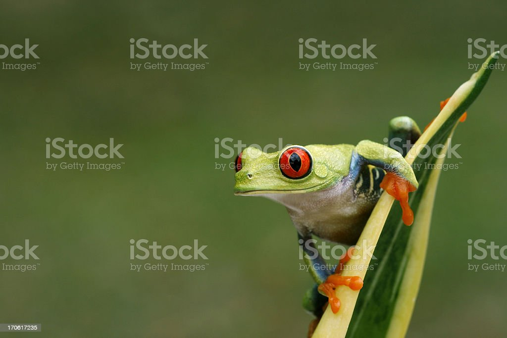 Red-eyed Tree Frog on Snake Plant- Nature Background stock photo