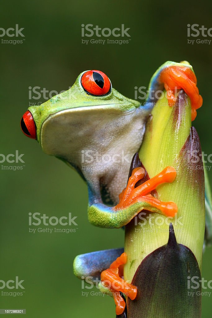 Red-eyed Tree Frog Peeping Around Plant royalty-free stock photo