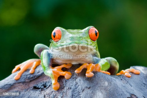 Red-eyed Tree Frog  [url=http://www.istockphoto.com/file_search.php?action=file&lightboxID=6833833] [img]http://www.kostich.com/frogs.jpg[/img][/url]