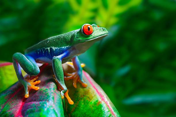red-eyed tree frog - jaskrawy kolor zdjęcia i obrazy z banku zdjęć