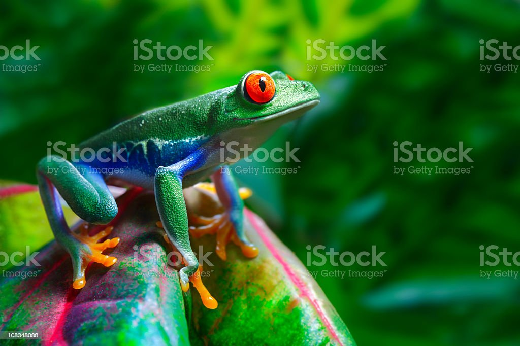 Red-Eyed Tree Frog bildbanksfoto