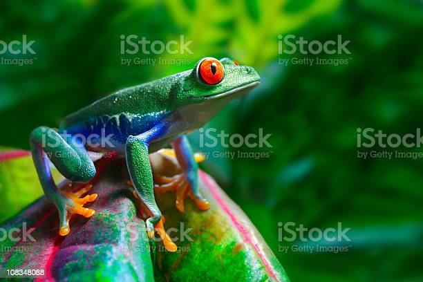 Photo of Red-Eyed Tree Frog