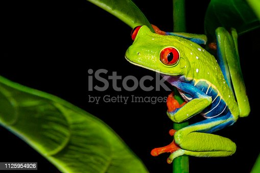 istock Red-eyed Tree Frog 1125954926