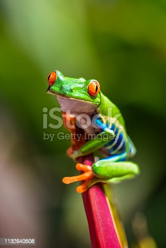 A red-eyed tree frog, Agalychnis callidryas, funny frog in Costa Rica
