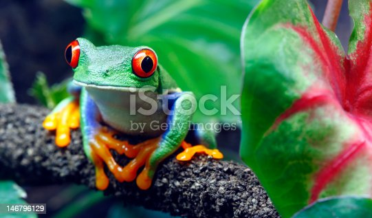 A colorful Red-Eyed Tree Frog (Agalychnis callidryas) sitting along a vine in its tropical setting.
