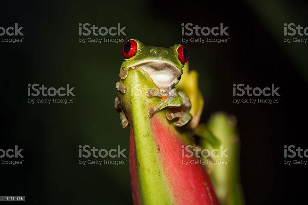 Red-eyed Tree Frog bildbanksfoto