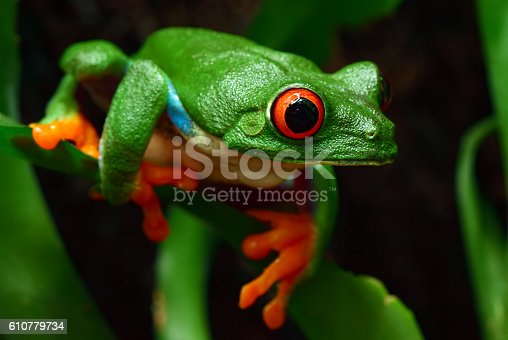 close-up of a red-eyed tree frog