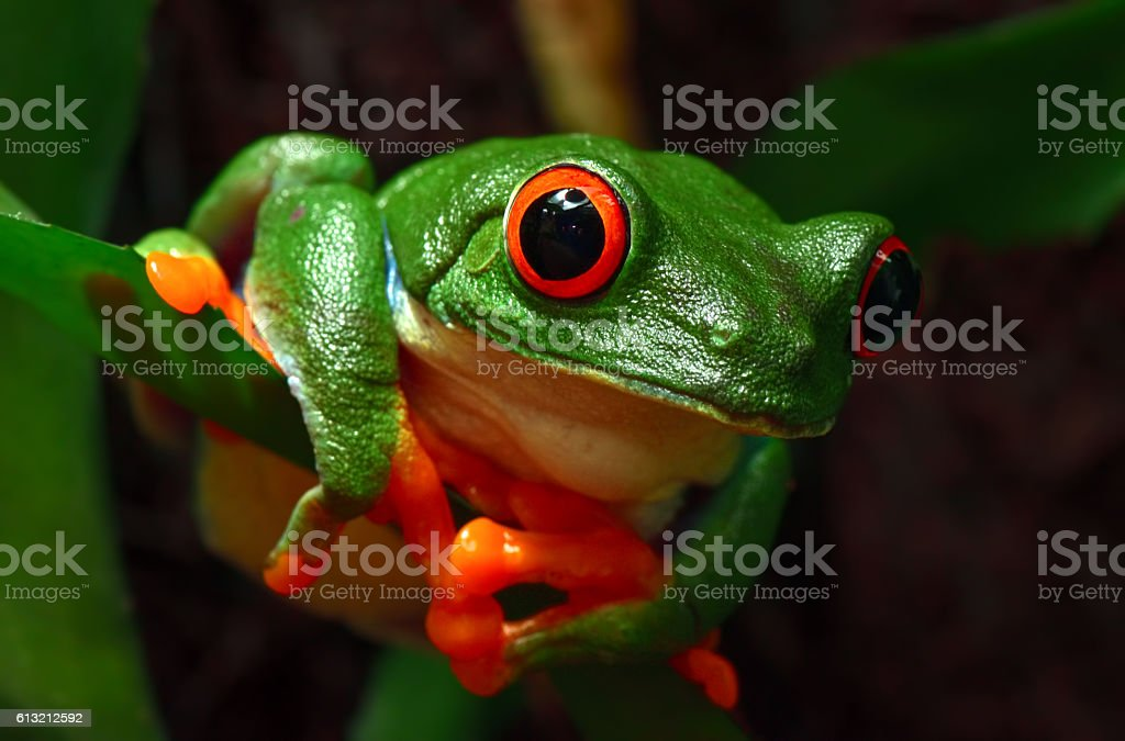 red-eyed tree frog stock photo