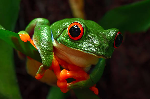 red-eyed tree frog - animal eye stock pictures, royalty-free photos & images