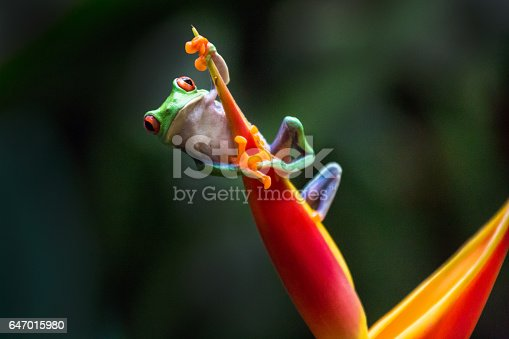 Red-eyed tree frog climbing a red leave