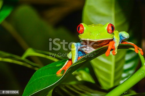 istock Red-eyed Tree Frog 815915504