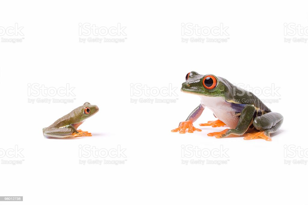 Red-eyed tree frog royalty-free stock photo