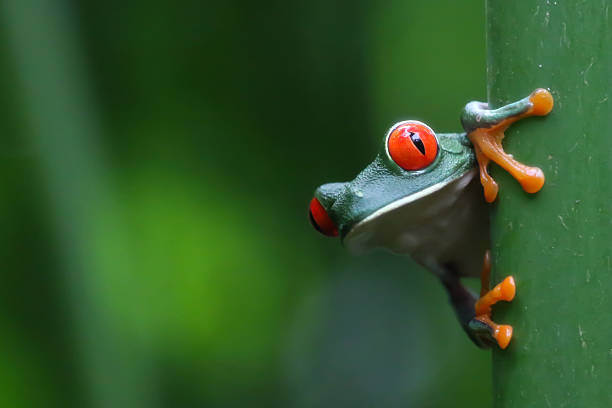 Red-eyed Tree frog pictured in Tortuguero, Costa Rica. Red-eyed Tree frog pictured in Tortuguero, Costa Rica. limoen stock pictures, royalty-free photos & images